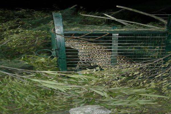 Leopard captured in Doda , transported to Kishtwar | KNO