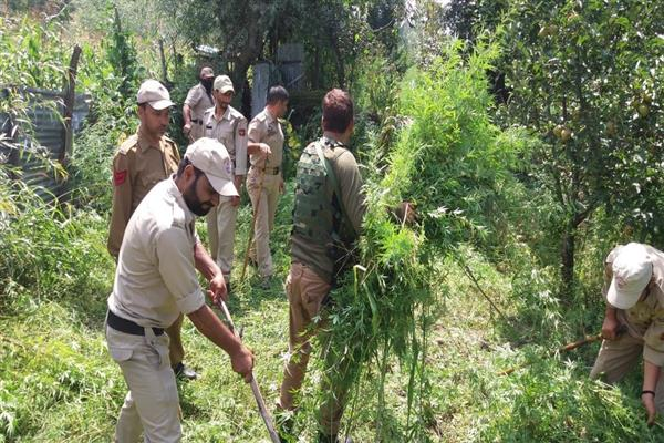 Anantnag police destroys bhung cultivation | KNO