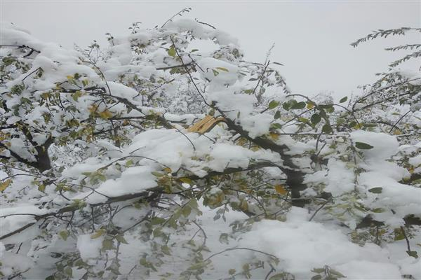 Snowfall damages Apple orchards in South Kashmir's Tral | KNO