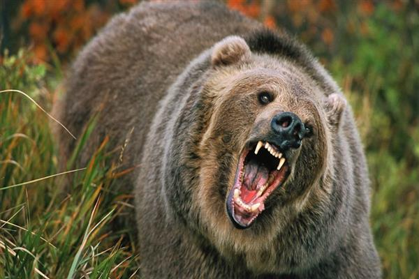39 year old man Wounded​ in bear attack in Ganderbal | KNO