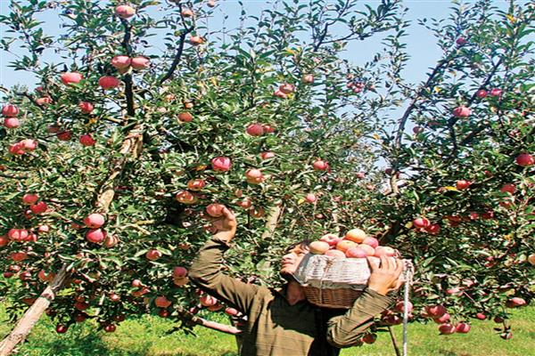 Less takers for J&K Govt's 'apple deal' in Kashmir's Shopian, Pulwama     |KNO