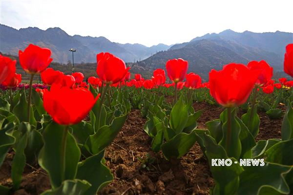 Closure of Tulip garden: Rs 1000 Crore losses to ailing tourism industry, allied sectors | KNO
