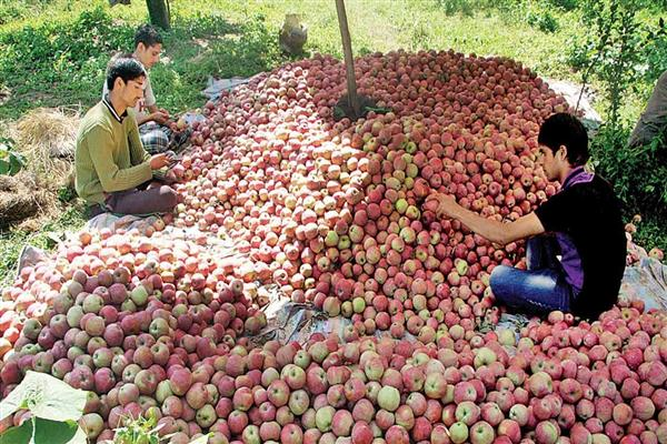 Another setback to Kashmir's Rs 8000 crore Apple industry | KNO