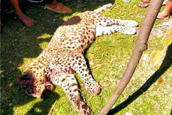 Leopard killed after injuring two persons in Budgam, case registered | KNO